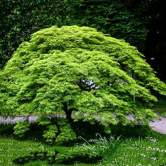 Weeping Japanese Maple Viridis For Sale Online The Tree Center