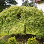 Green Weeping Viridis Laceleaf Japanese Maple Tree