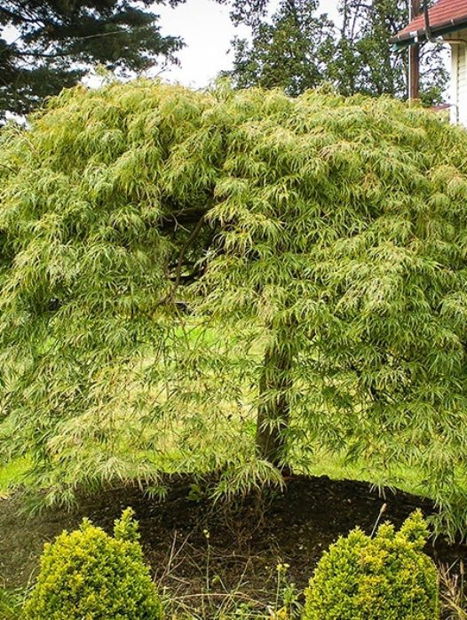 Viridis Japanese Maple