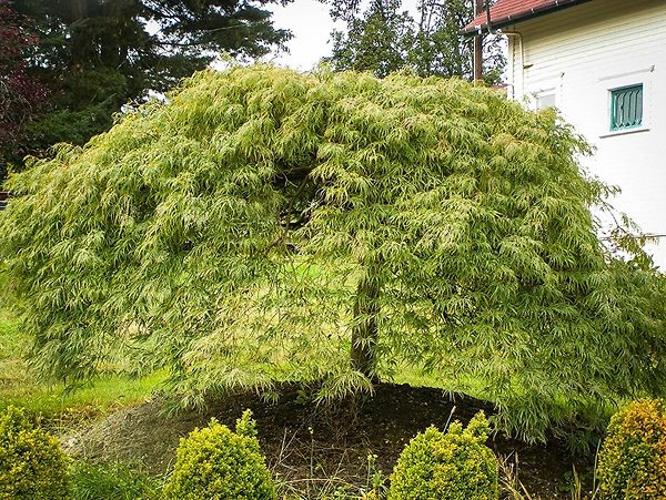 Green Weeping Viridis Laceleaf Japanese Maple Tree