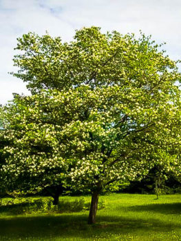 Washington Hawthorn Tree