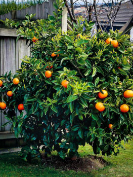 Washington Navel Orange Tree