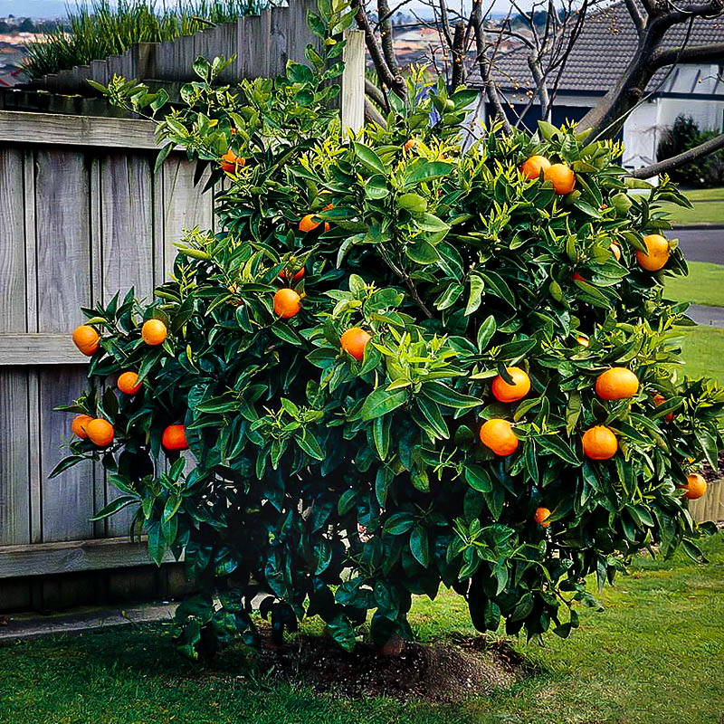 washington navel orange trees for sale