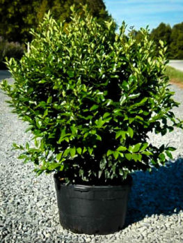 Wavy Leaf Privet Ligustrum