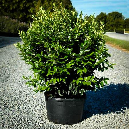 Wavy Leaf Privet Ligustrum For Sale The Tree Center