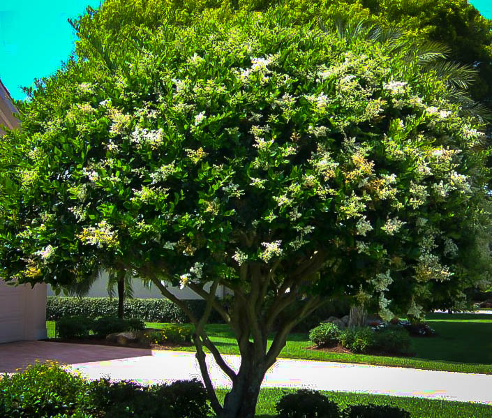 Waxleaf Privet Shrubs For Sale Online The Tree Center