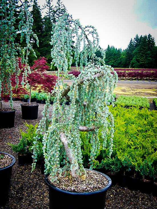 Weeping Blue Atlas Cedar Trees For Sale Online The Tree