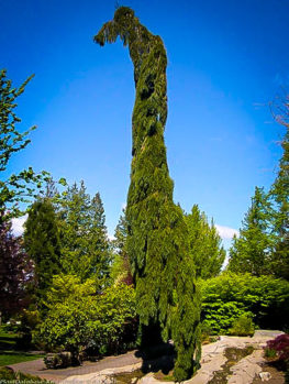 Weeping Giant Sequoia