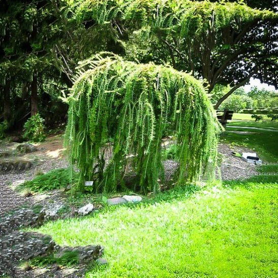 Weeping Larch Tree