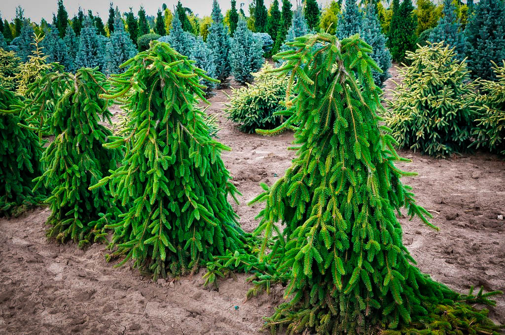 Weeping Norway Spruce For Sale Online The Tree Center