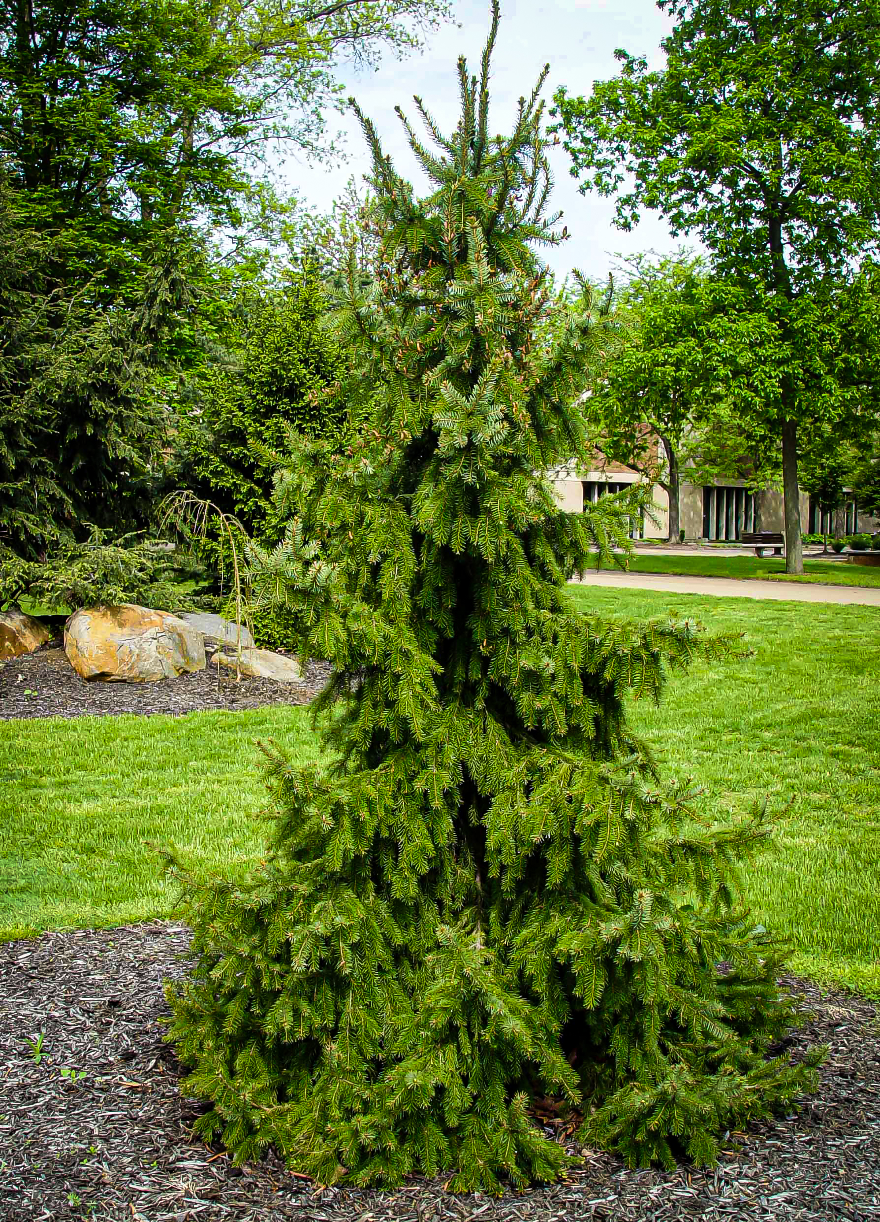 Weeping Serbian Spruce The Tree Center