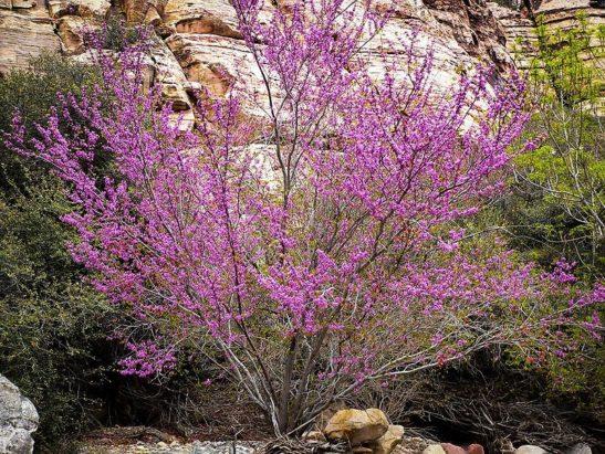 Western Redbud Tree In Bloom