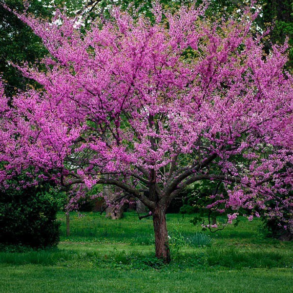 Eastern Redbud For Sale Online The Tree Center