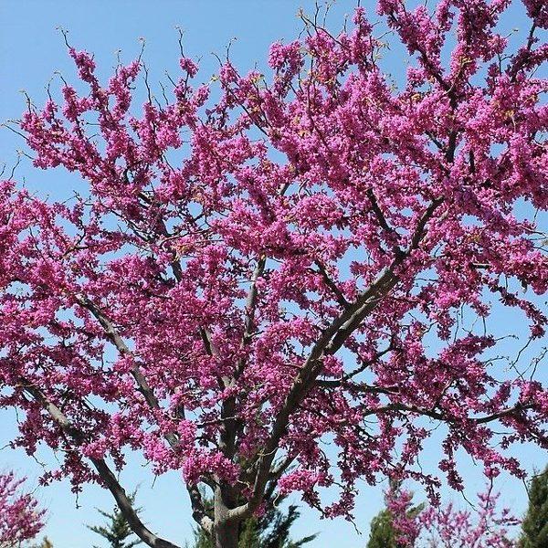 Western Redbud Tree