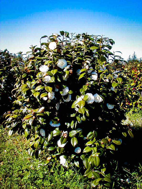 White By The Gate Camellias For Sale Online The Tree Center
