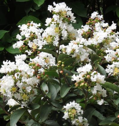 Enduring Summer White Crape Myrtle Shrub For Sale Online