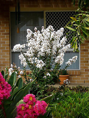 White Crape Myrtle Bush