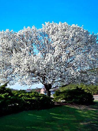 Flowering White Dogwood Tree