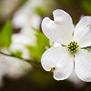 White Dogwood Tree Flower