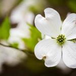White Dogwood Tree Flower