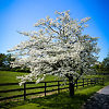 White Dogwood Tree On Farm