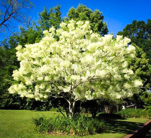 Fringe Tree For Sale Online The Tree Center
