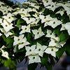 White Kousa Dogwood Tree Flowers
