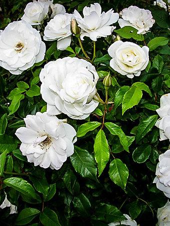 White Out Rose Bush