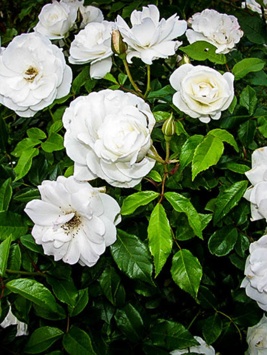Knockout Roses Double Online The