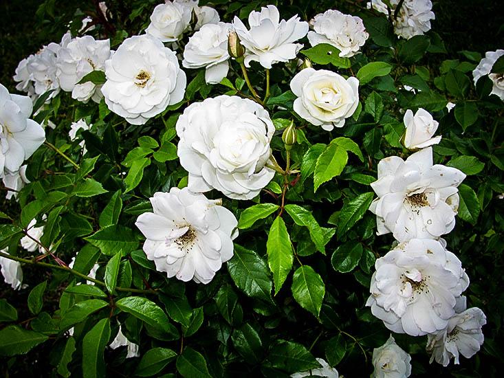 White Out Rose Bush