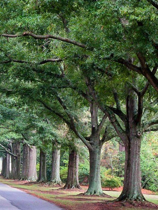 Willow Oak Tree