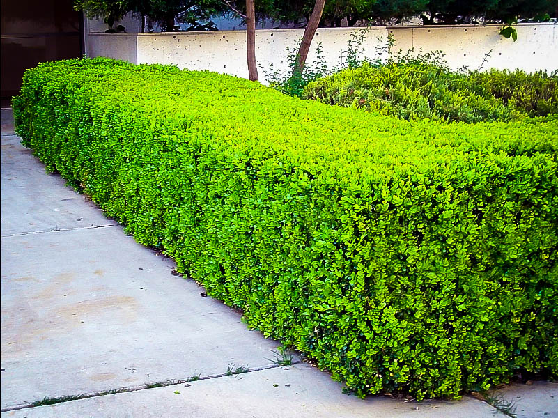 Winter Gem Boxwoods For Sale Online The Tree Center
