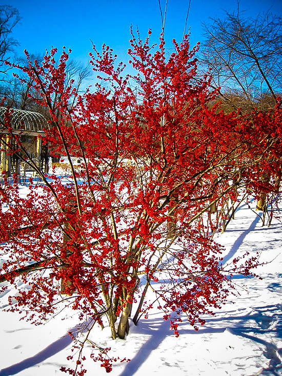 Winterberry Holly Shrubs For Sale The Tree Center