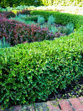 Wintergreen Korean Boxwood