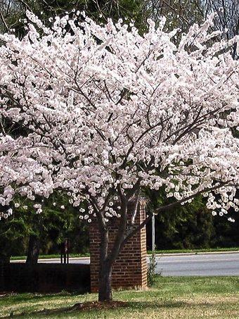 Yoshino Cherry Tree In Bloom