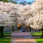 Group of Yoshino Cherry Trees