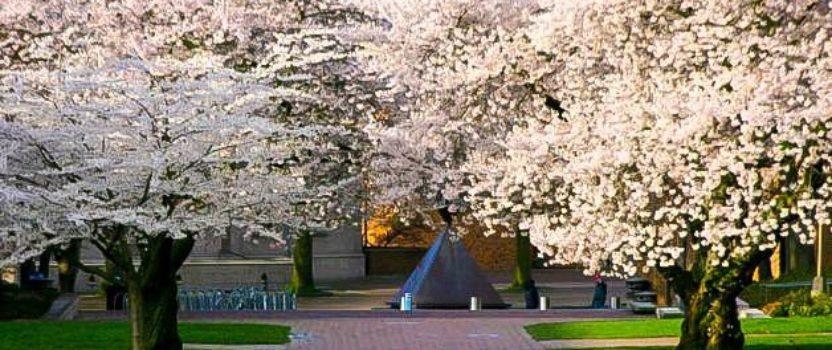Time to Plant a Cherry Blossom Tree