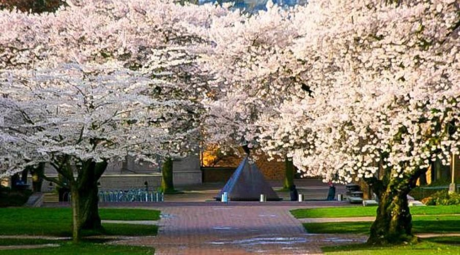 Time to Plant a Cherry Blossom Tree