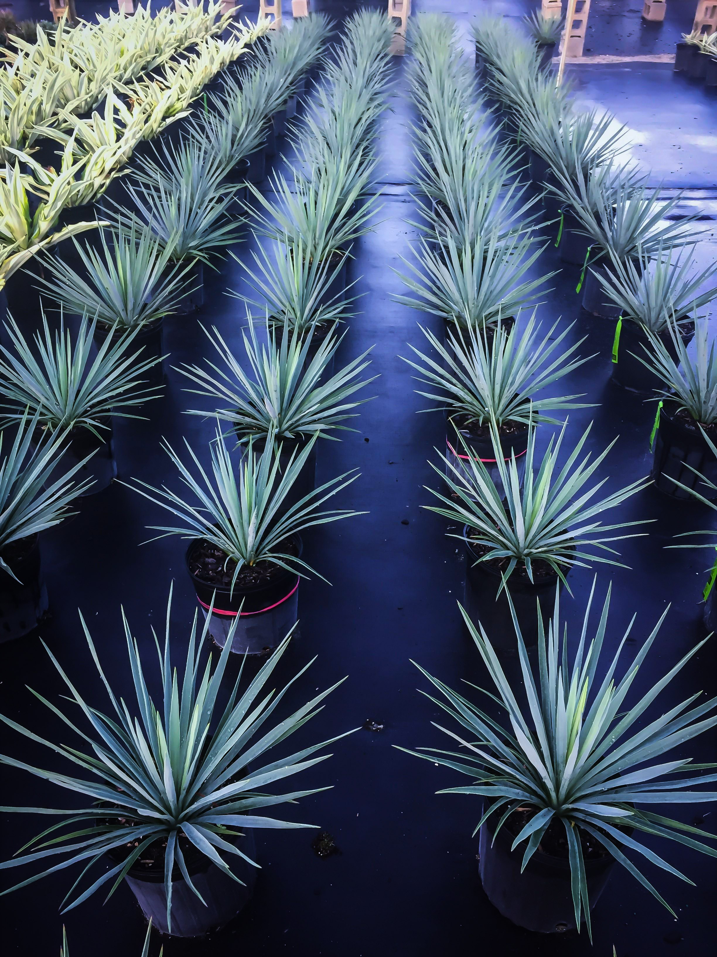Blue Sentry Yucca Plants For Sale The Tree Center