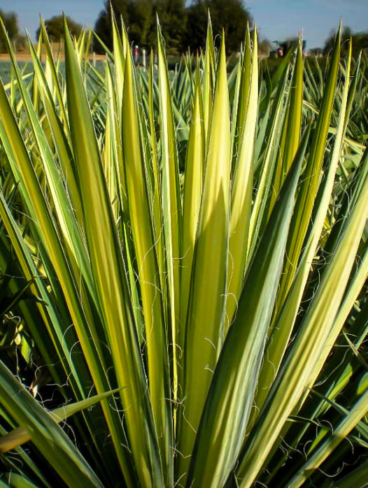 Golden Sword Yucca