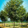 Young Green Vase Zelkova Tree