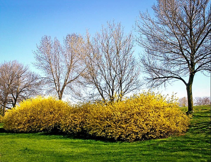 Lynwood Gold Forsythia Bushes