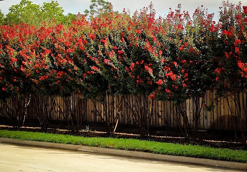 Red Rocket Crape Myrtle Row