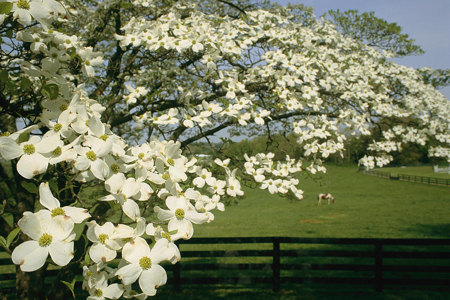 Dogwood tree facts everything you need to know blooms and a blossoming dogwood tree fruit which mightylinksfo