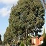 Eucalyptus Tree Row