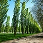 Lombardy Poplar Tree Row