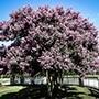 Muskogee Crape Myrtle Tree in Bloom