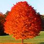 October Glory Maple Tree width=