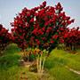 Red Rocket Crape Myrtle Tree in Bloom
