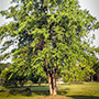 River Birch Tree